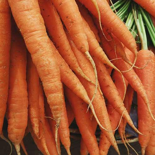 wheat-free-dog-food-carrots